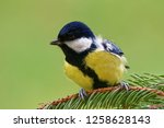 great tit  parus major  is a...   Shutterstock . vector #1258628143