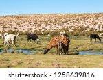 llamas  lama glama  early in... | Shutterstock . vector #1258639816