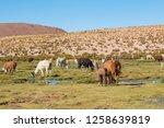 llamas  lama glama  early in... | Shutterstock . vector #1258639819
