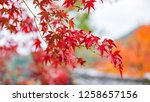 red maple leaves in autumn. | Shutterstock . vector #1258657156