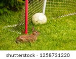 profile of wild cottontail... | Shutterstock . vector #1258731220