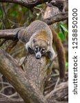 exemplary of coat   nasua... | Shutterstock . vector #1258850200
