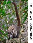 exemplary of coat   nasua... | Shutterstock . vector #1258850203
