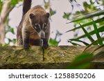 exemplary of coat   nasua... | Shutterstock . vector #1258850206