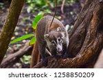 exemplary of coat   nasua... | Shutterstock . vector #1258850209