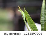 green anole lizard clinging to... | Shutterstock . vector #1258897006