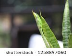 green anole lizard clinging to... | Shutterstock . vector #1258897060