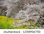 sakura blossoms at kumagaya... | Shutterstock . vector #1258906750