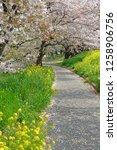 sakura blossoms at kumagaya... | Shutterstock . vector #1258906756