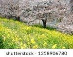 sakura blossoms at kumagaya... | Shutterstock . vector #1258906780
