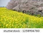 sakura blossoms at kumagaya... | Shutterstock . vector #1258906783