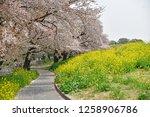 sakura blossoms at kumagaya... | Shutterstock . vector #1258906786