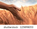 Woman's Hand Touch Wheat Ears...
