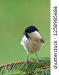 marsh tit  poecile palustris ...   Shutterstock . vector #1258985686