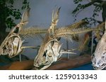skeleton of fish in aquarium. ... | Shutterstock . vector #1259013343