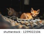 tow little cat get sick their...   Shutterstock . vector #1259022106