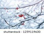 Viburnum Tree In Snow In The...