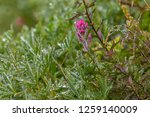 Pink Wildflowers And Dew At...