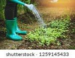 women watering chinese cabbage... | Shutterstock . vector #1259145433