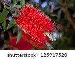 Bottlebrush Flower In Bloom