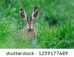 Stock photo european brown hare lepus europaeus in summer germany europe 1259177689