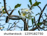 plumeria on the plumeria tree ... | Shutterstock . vector #1259182750