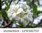 plumeria on the plumeria tree ... | Shutterstock . vector #1259182753