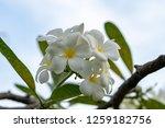 plumeria on the plumeria tree ... | Shutterstock . vector #1259182756