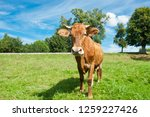 a brown cow on a field in sunny ... | Shutterstock . vector #1259227426