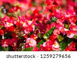 Begonia  Begonia Spp.   Hybirds....