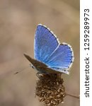 the adonis blue  polyommatus... | Shutterstock . vector #1259289973