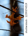 isolated leaf during the autumn ... | Shutterstock . vector #1259374519