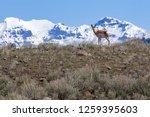 Pronghorn Antelope In...