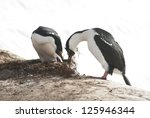 male and female antarctic blue... | Shutterstock . vector #125946344