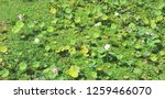 a lot of  lotos on green... | Shutterstock . vector #1259466070
