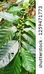 branch of green coffee beans.... | Shutterstock . vector #1259471773
