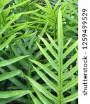 Small photo of A thick collection of fern leaves is shown up close along a hiking path in a tropical forest during a sunny day.