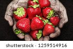 strawberry in male hands over... | Shutterstock . vector #1259514916