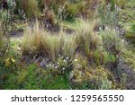 high altitude paramo vegetation ... | Shutterstock . vector #1259565550