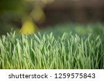 sprouted oats.green sprouted... | Shutterstock . vector #1259575843