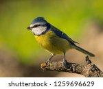 blue tit  cyanistes caeruleus ...   Shutterstock . vector #1259696629