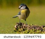 blue tit  cyanistes caeruleus ...   Shutterstock . vector #1259697793