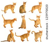 Stock photo set collage from purebred abyssinian young cats isolated on white 125970020