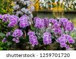 orchids in the garden. | Shutterstock . vector #1259701720