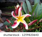 frangipani flowers in the... | Shutterstock . vector #1259820643