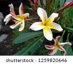 frangipani flowers in the... | Shutterstock . vector #1259820646