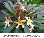 frangipani flowers in the... | Shutterstock . vector #1259820649
