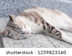young gray cat sleep on the... | Shutterstock . vector #1259823160