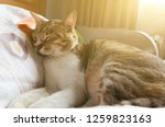 tabby fat cat lying on bed in... | Shutterstock . vector #1259823163