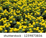 marigolds tagetes erecta  the... | Shutterstock . vector #1259873836